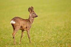 Young roe. Deer buck in mowed meadow Stock Photography