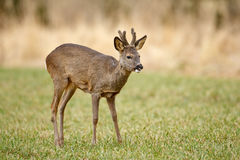 Young roe buck. With velvet horns in a recently cut meadow Stock Images