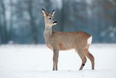 Young roe buck without antlers during winter time Stock Photography