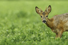 Young roe buck in clover meadow. Young roe buck with small antlers looking at the camera Stock Photos