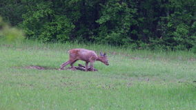 Young roe buck stock footage
