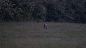 Young roe buck stock video