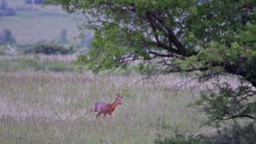 Young roe buck stock video footage