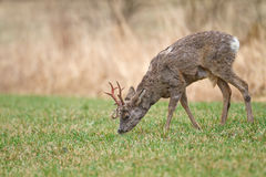 Young roe buck in meadow Royalty Free Stock Photos