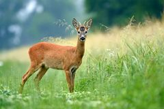 Young roe buck standing in a field Stock Images