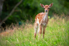 Young roe deer stock photo