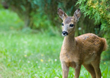 Young Roe deer Stock Images