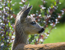 Young Roe deer Royalty Free Stock Photography