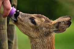 Young Roe deer Stock Photography