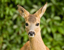 Young Roe deer Royalty Free Stock Images