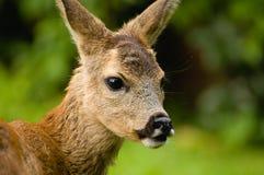 Young Roe deer Stock Image