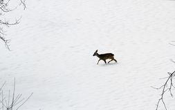 Young roe deer amid the snow white Stock Photos