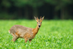Young roe deer buck in meadow Royalty Free Stock Images
