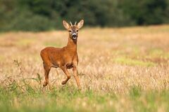 Free Young Roe Deer Buck Running Alone On The Dry Stubble Field In Summer Royalty Free Stock Photos - 218988008