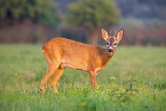 Young roe deer buck in summer on a fresh green grass. Young roe deer, capreolus capreolus, buck in summer on a fresh green grass looking to camera. Wild animal royalty free stock image