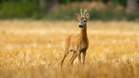 Free Young Roe Deer Buck With Small Antlers On A Stubble Filed In Summer Royalty Free Stock Photography - 217713887