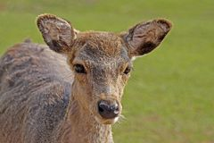 Young Roe Deer (Capreolus) Stock Images