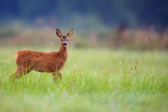 Young roe deer in a clearing Royalty Free Stock Photos