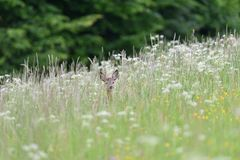 Small roe buck with antler  to hide in camouflage on grass and forest. Young roe deer with growing antler grazing grass on the meadow stock photos
