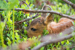 Young Roe deer hiding. In the vegetation Royalty Free Stock Photos