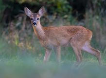 Young Roe deer stands on a clearing at the forest edge stock photography