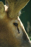 Young roe deer profile Royalty Free Stock Photo