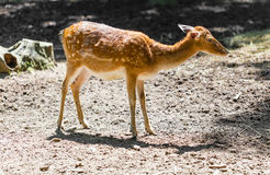 Young roe deer Stock Image