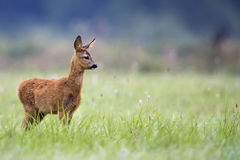 Young Roe-deer in the wild Stock Image