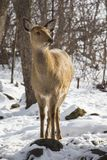 Young roe deer in the winter forest royalty free stock images
