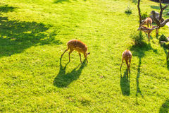 Young roe deers on the meadow, top view. Zoo, wild animals and mammal concept Royalty Free Stock Image