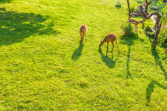 Young roe deers on the meadow, top view. Zoo, wild animals and mammal concept Royalty Free Stock Photos