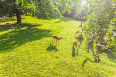 Young roe deers on the meadow, top view. Zoo, wild animals and mammal concept Stock Images