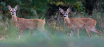 Two Young Roe deers walks together near the forest stock photography
