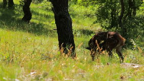 Young roe on the forest in spring stock footage