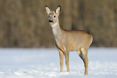 Young roebuck Royalty Free Stock Image