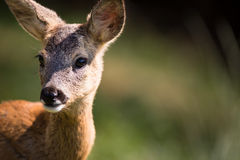 Young Roebuck Stock Images