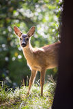 Young Roebuck Royalty Free Stock Photo