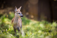 Young Roebuck Royalty Free Stock Photography