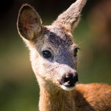Young Roebuck Royalty Free Stock Photos