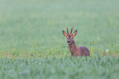 Young roebuck standing in meadow Royalty Free Stock Photos
