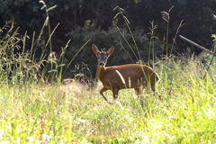 The young roedeer. The wild roedeer in the meadow Stock Images