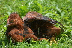 Young Rooster In The Grass Royalty Free Stock Images