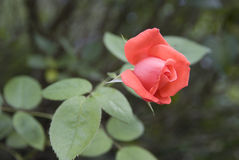 Young rose Royalty Free Stock Images