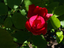 Young rose. A beautiful young rose of scarlet color Royalty Free Stock Photo