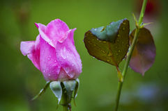 Young rose with rain drops in the garden. Young fresh rose with rain drops in the garden Royalty Free Stock Images