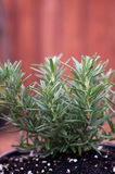 Young rosemary plant in pot Royalty Free Stock Photos