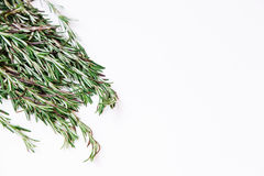 Young rosemary sprigs isolated on white background. Open space for your text. Stock Images