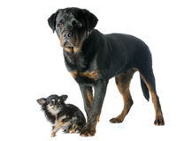 Young rottweiler and chihuahua Stock Image