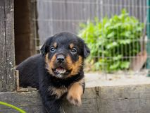 The young Rottweiler puppy royalty free stock images