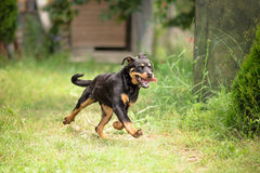 Young Rottweiler dog running Royalty Free Stock Images